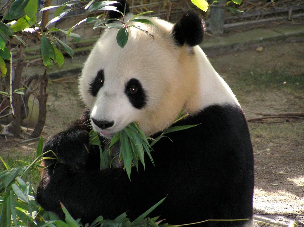 Panda Quiz